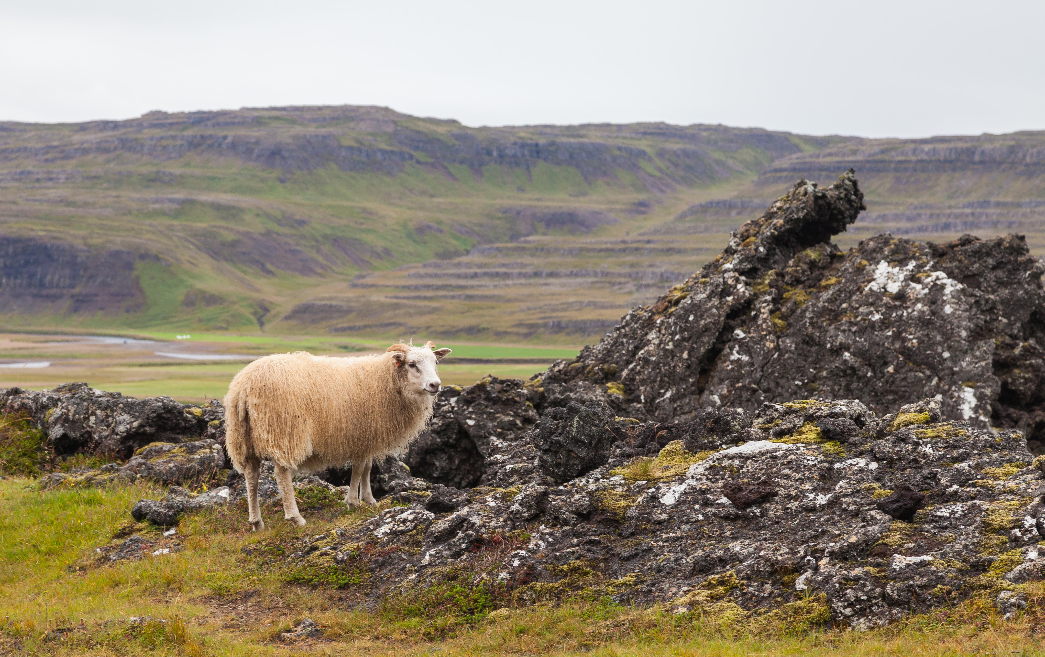 Oveja_islandesa,_Grábrók,_Vesturland,_Islandia,_2014-08-15,_DD_097